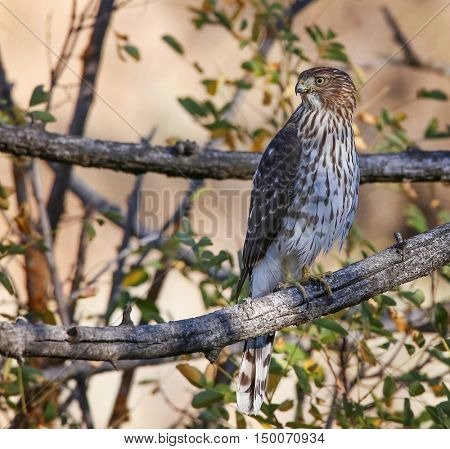 a juvenile coopers hawk on a branch out in nature
