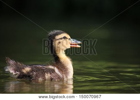 a baby duckling swimming in a pond at a local park