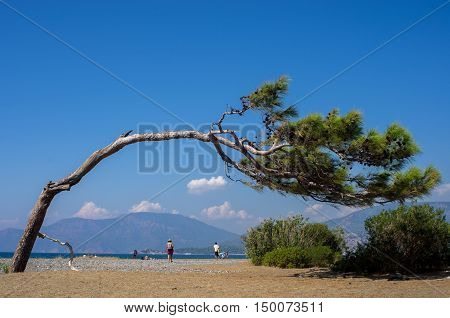 Curving tree on the beach of Dalyan in Turkey