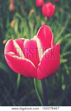 spring tulip in beautiful bouquet flowers pink