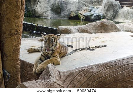 Young Tiger in the Tiger's Buddhist temple in Bangkok, Thailand