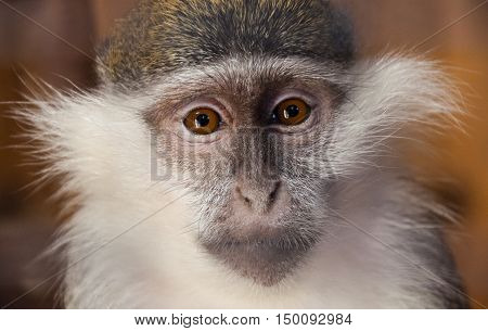Young female green monkey Chlorocebus sabaeus, sabaeus monkey or callithrix monkey looking seriously directly at the viewer. The struggle for animal rights