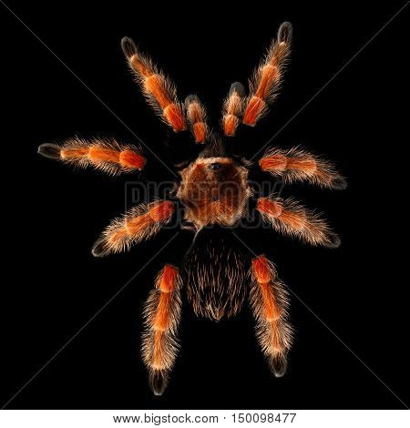 Top view on Big hairy Red Tarantula Theraphosidae isolated Black Background