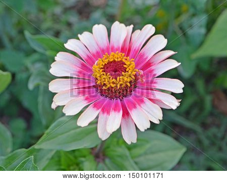 Pink And White Zinnia Flower