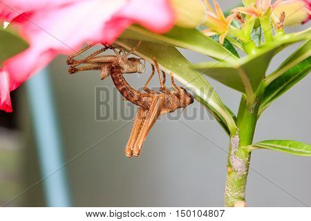 Close up of grasshopper changing itself with molt
