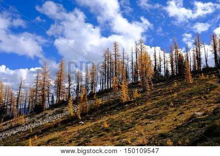 Yellow trees against blue sky. Frosty Mountain. Manning Provincial Park. Hope. British Columbia. Canada.
