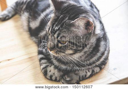american shorthairs cat lying or sleeping  on wooden floor