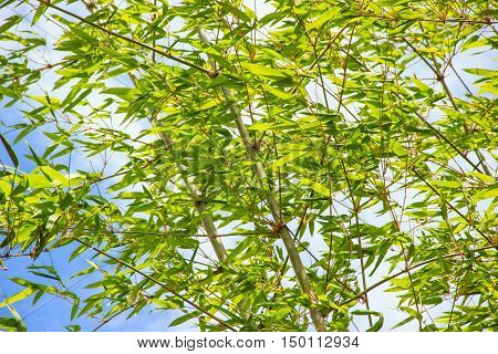 bamboo leaf and abstract green nature background