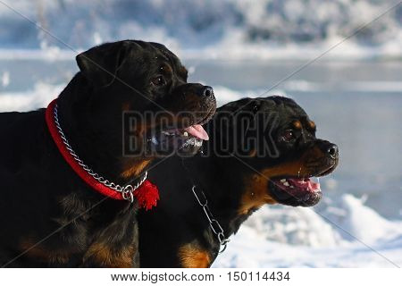 Two powerful dog breed Rottweiler walking in the winter on the street. Closeup portrait of. They work in the police and well guarded house and people