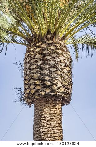 The top tier of the palm trunk