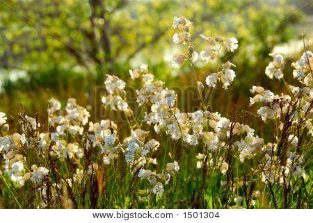Widlflowers White Campions