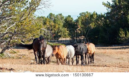 Wild Horse Herd walking together on Tillett Ridge in the Pryor Mountain Wild Horse Range in Montana - Wyoming United States