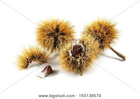 sweet chestnut fruits (Castanea sativa) in the prickly peel closeup isolated on a white background selected focus