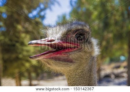 Ostrich head close up with big black eyes and red beak