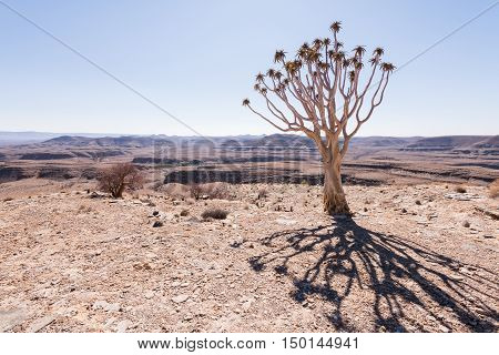 Quiver Tree Shadow looking over arid landscape Namibia