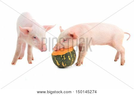 two piglets on a white background. studio