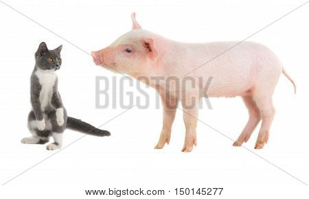 cat and pig on a white background. studio