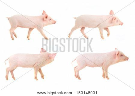 going pigs on a white background. studio
