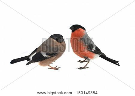 female and male bullfinch on a white background