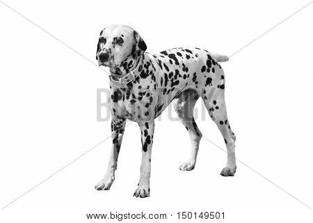 Dalmatian a dog isolated on white background