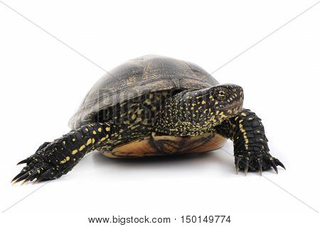 marsh turtle is photographed in studio on white