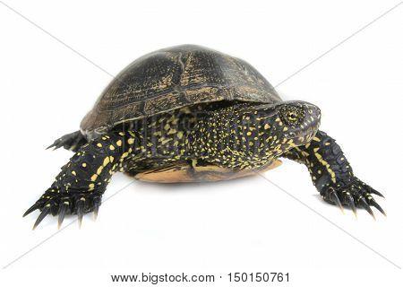 a European pond turtle isolated on white