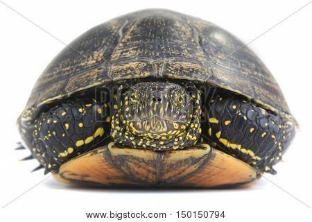 The european pond turtle isolated on white