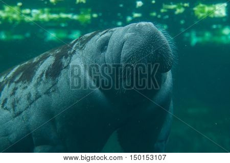 Antillean manatee (Trichechus manatus manatus). Wildlife animal.