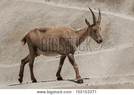 Alpine ibex (Capra ibex ibex), also known as the steinbock or bouquetin. Female ibex. Wildlife animal.