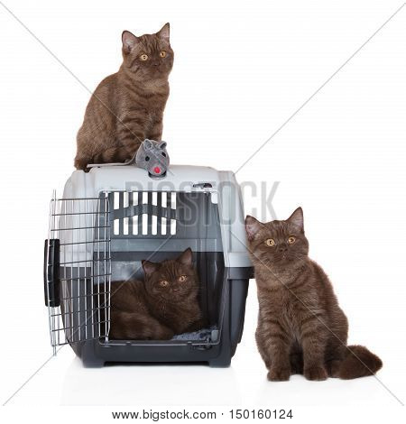 three british shorthair kittens posing with a pet crate