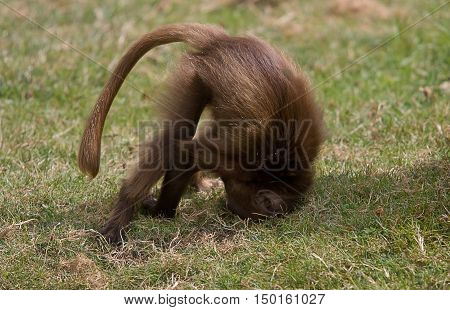 photo of a baby Gelada Baboon playing