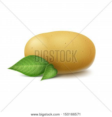 Vector New Yellow Raw Whole Unpeeled Potato with leaves Close up Isolated on White Background