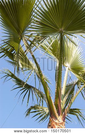 Washingtonia filifera palm tree with blue sky background