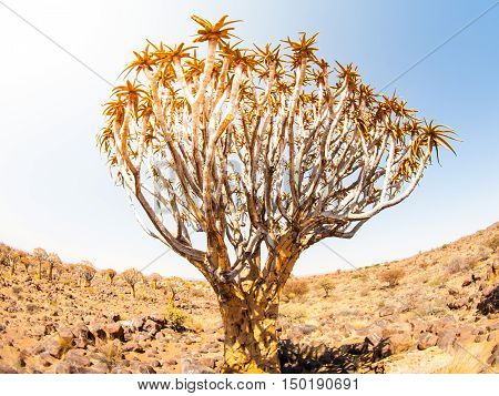 Quiver tree, aka aloe tree or kokerboom, in the dry rocky desert landscape of Quiver tree forest near Keetmashoop, southern Namibia, Africa