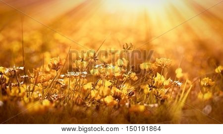 Yellow flowers - buttercup in meadow lit by sun rays