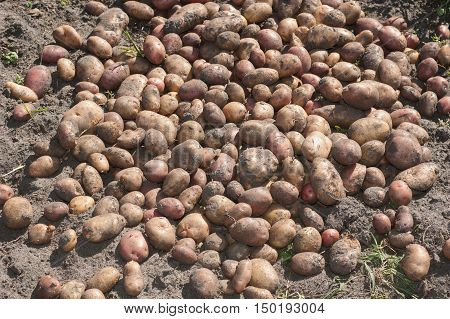 Excavated and collected the potatoes lying on the ground.