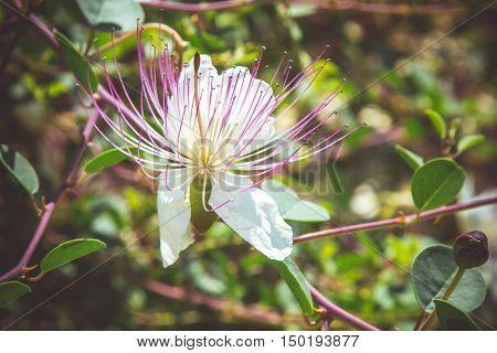 Capparis flower flowering shrub in the family Capparaceae. Close-up selected focus