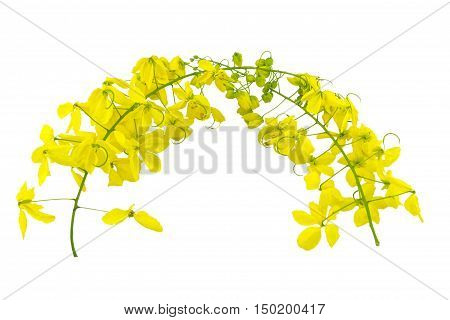 Flowers of Cassia fistula or Golden shower national tree of Thailand isolated on white background. Saved with clipping path.