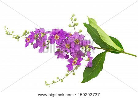 Queens crape myrtle flowers or Queen's flower Lagerstroemia inermis PersPride of India Jarul isolated on white background.Saved with clipping path.