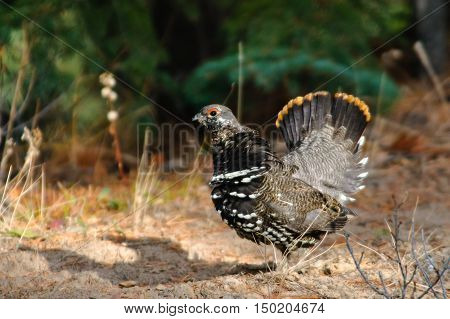Male Spruce Grouse in autumn Alberta Canada