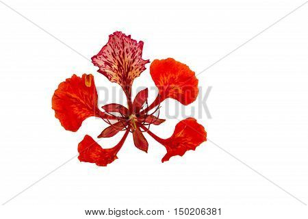 Colorful of Peacock's Crest leaves flowers or Caesalpinia pulcherrima (L.) Sw. flower isolated on white background.Saved with clipping path.