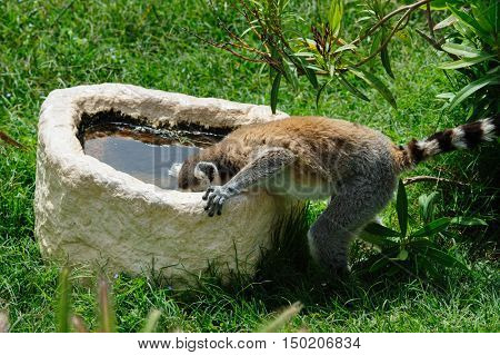 One Ring-tailed Lemur drinks the water from stone pot