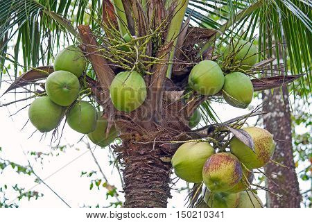 Many coconuts on a palm tree close-up.