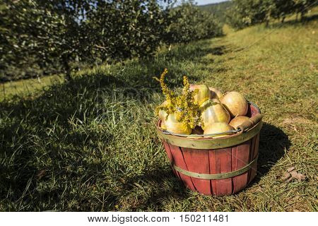 wide angle shot of fresh picked apples in basket in apple orchard