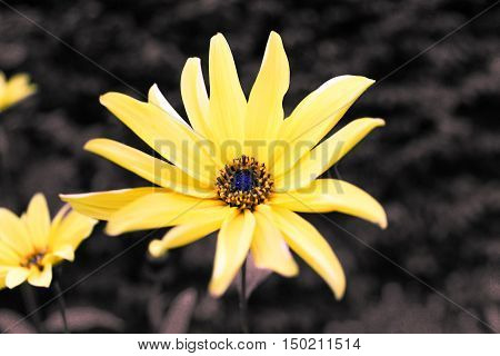 Yellow petaled small flower with black and white background and other blurry yellow flowers. B&W