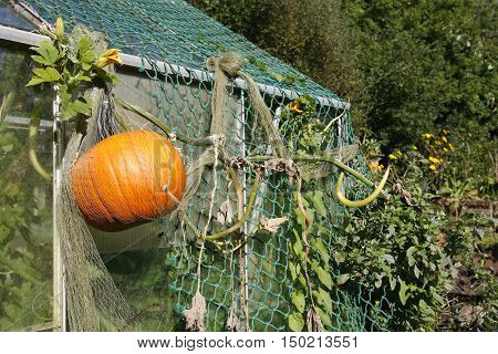 Large pumpkin growing on the outside of a greenhouse in an allotment