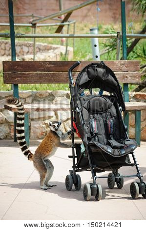Curious ring-tailed Lemur standing and looking into empty baby carriage