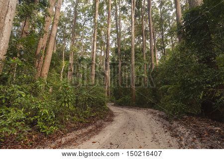 A sand track leads through forest in Pile Valley, Fraser Island, Queensland, Australia
