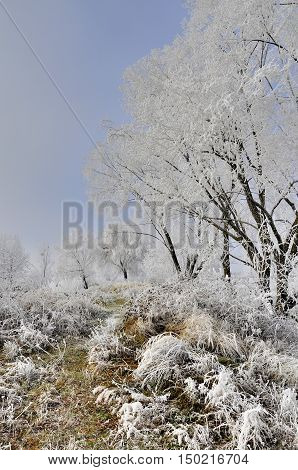 Frosted morning landscape with willow tree covered with frost