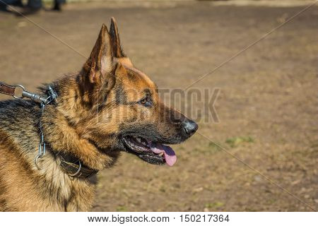 Profile of the head of the German Shepherd. Biting dog. Alsatian Wolf Dog. Deutscher dog